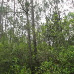 102.87 Acres with 60 Acres of 1 Year Old Pine and Volunteer Woodlands- Only $1,150 per acre thumbnail image