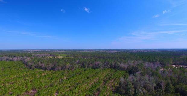 53 Acre Pine Plantation image