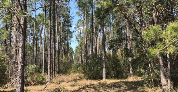 37.58 Acre Timber Plantation image