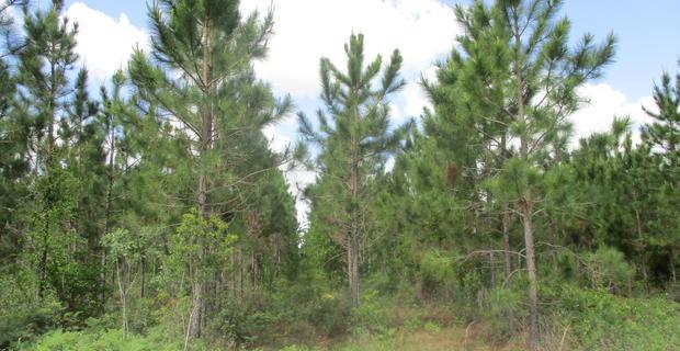 95 Acre Pine Plantation image