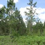 95 Acre Pine Plantation thumbnail image
