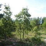 Louisiana Sand Hill thumbnail image