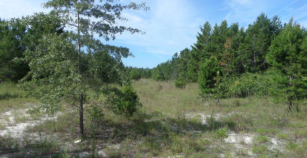 Louisiana Sand Hill Tract 4 image
