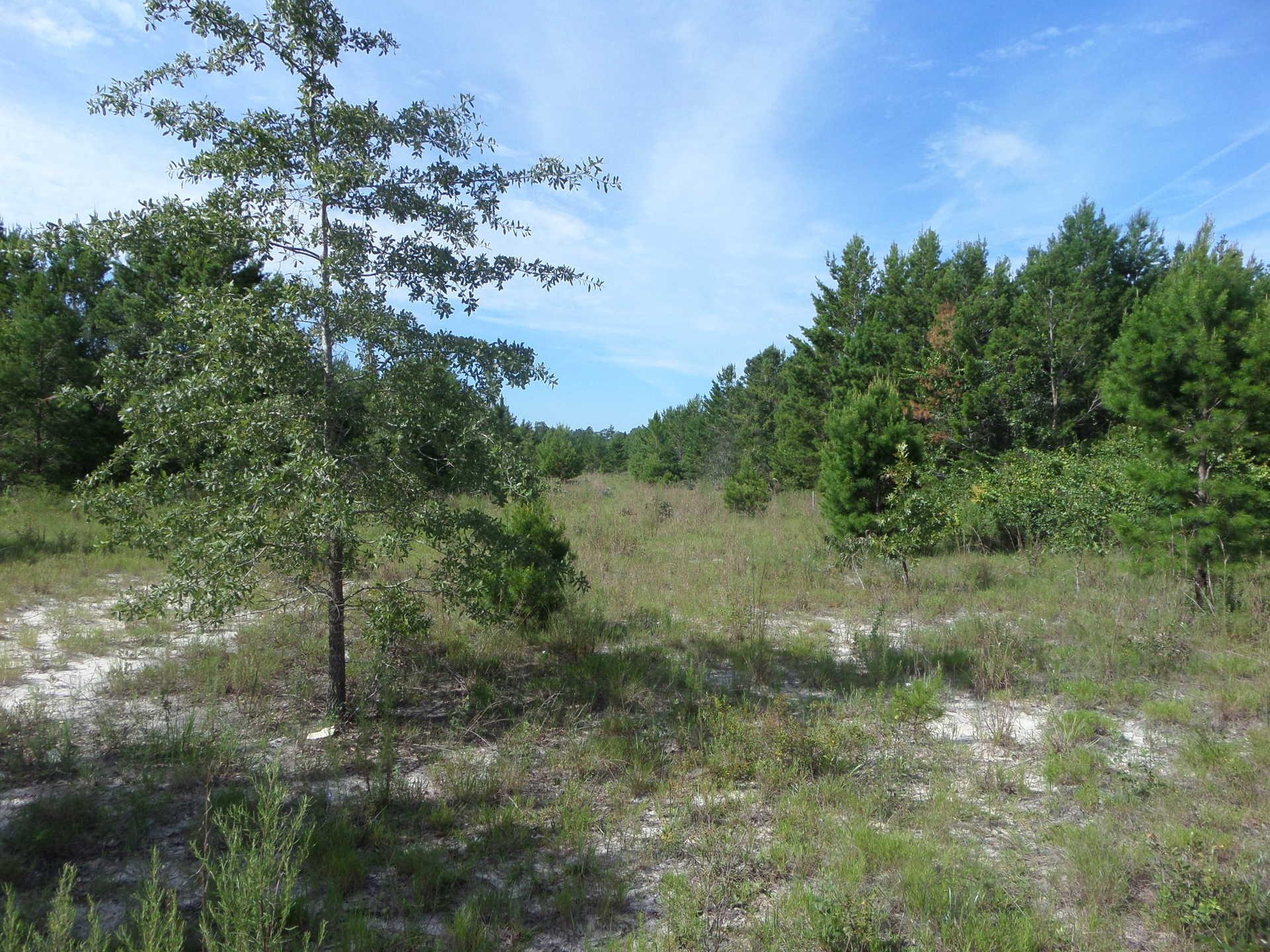 Louisiana Sand Hill Tract 4 image