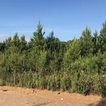 69.44 Acres Pine Plantation Homesite thumbnail image