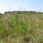 Planted Pine Tract in Nicholls, GA thumbnail image