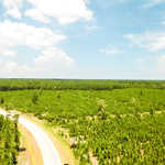 Pine Plantation at Shellman Bluff thumbnail image