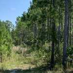 Pine Plantation at Shellman Bluff thumbnail image