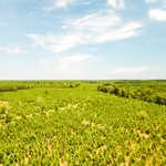 50 acre Coastal Pine and Hardwood Plantation  thumbnail image