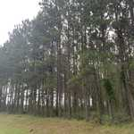 Planted Pines, Hardwood, and Creek Frontage  thumbnail image