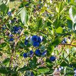 Organic Highbush Blueberry Farm thumbnail image