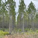 Tract 1- 25 Acres on Suwannee Chapel Rd image